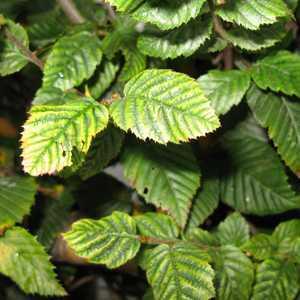 Carpinus Betulus (Hornbeam) Hedging 200-250cm 15Ltr Pot