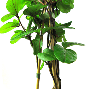 Lonicera Honeysuckle Japonica Dart's World 3 Ltr