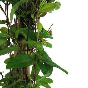 Lonicera Honeysuckle Japonica var. repens 3 Ltr