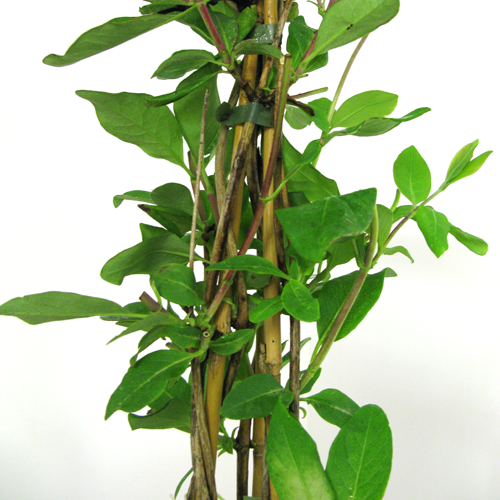 Lonicera Honeysuckle periclymenum Graham Thomas 3 Ltr