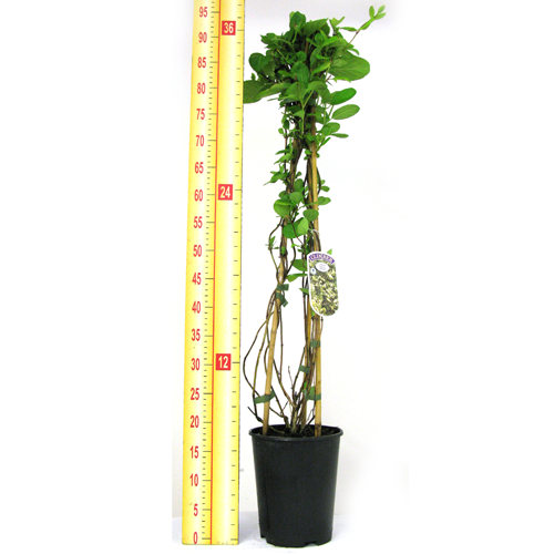 Lonicera Honeysuckle japonica Halliana 3 Ltr