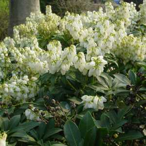 Pieris Japonica Debutante Lily of the Valley Shrub