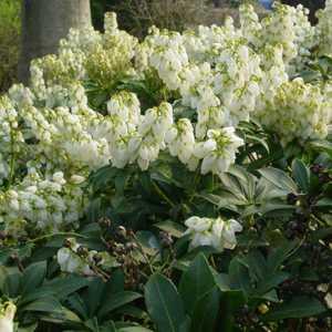 Pieris Japonica Debutante Lily of the Valley Shrub 10 Litre Pot