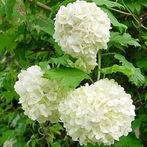 Viburnum Opulus 'Roseum' (Snowball tree)
