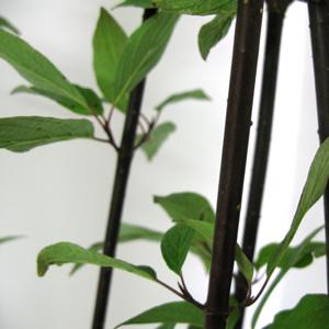 Cornus alba Kesselringii (White dogwood)