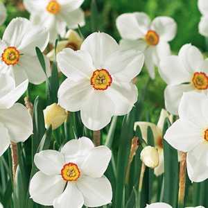 Daffodil Bulbs Poeticus Pheasants Eye/Recurvus 5 Per Pack
