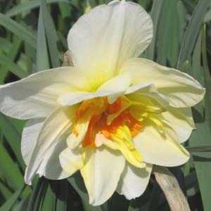 Daffodil Bulbs Double Flowerdrift 5 Per Pack