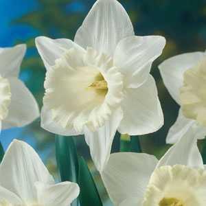 Daffodil Bulbs Trumpet Mount Hood 5 Per Pack