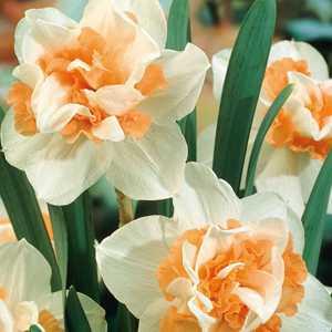 Daffodil Bulbs Double Replete 5 Per Pack