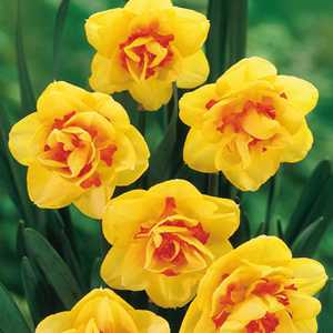 Daffodil Bulbs Double Tahiti 5 Per Pack