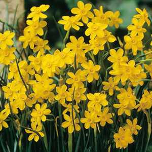 Narcissus Jonquilla Bulbs Baby Moon Multi-Headed 10 Per Pack