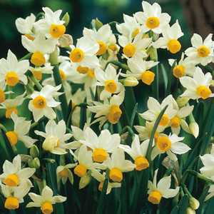 Narcissus Species Bulbs Canaliculatus 10 Per Pack
