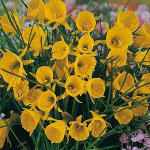Narcissus Bulbocodium Bulbs Golden Bells Miniature Daffodil 10 Per Pack