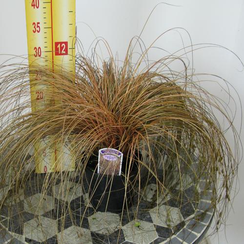 Carex Comans Bronzita Ornamental Grass 1ltr