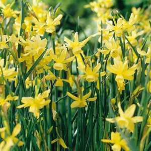 Narcissus Triandrus Bulbs Hawera Daffodil 10 Per Pack