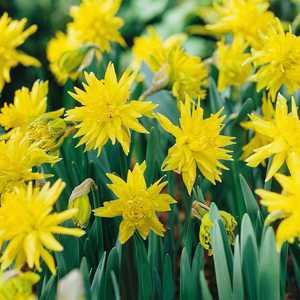 Narcissus Double Bulbs Rip Van Winkle (Daffodil) 10 Per Pack
