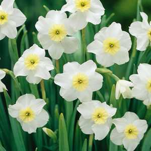 Narcissus Small Cupped Bulbs Segovia (Daffodil) 5 Per Pack