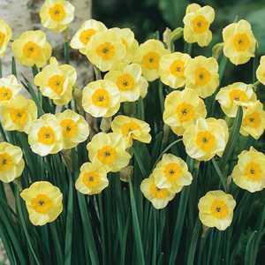 Narcissus Jonquilla Bulbs Sun Disc (Daffodil) 10 Per Pack
