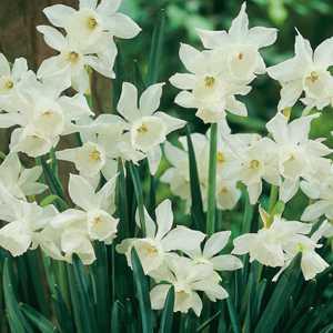Narcissus Triandrus Bulbs Thalia (Daffodil) 10 Per Pack