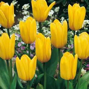 Tulip Bulbs Fosteriana Yellow Emperor 10 Per Pack