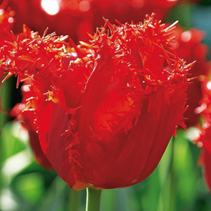 Tulip Bulbs Fringed Chrystal Beauty 10 Per Pack