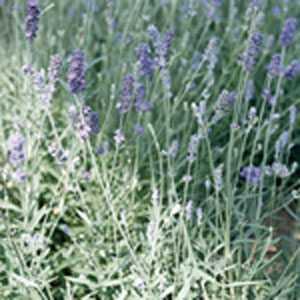 Lavender Angustifolia (English) Hidcote
