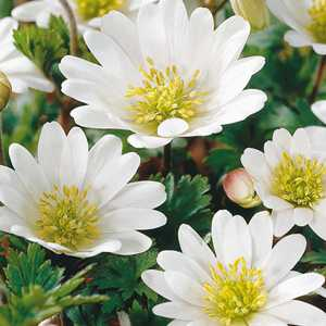 Anemone Bulbs Blanda White Splendour 10 Per Pack