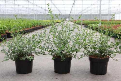 Ceanothus thyrsiflorus var. Repens (Californian Lilac)