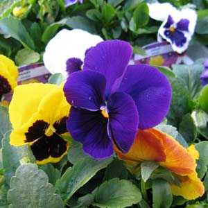 Pansy Winter Flowering Mixed (Pansies) Bedding Plants 12 Per Tray