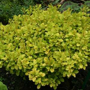 Berberis Thunbergii Tiny Gold (Barberry Hedging)