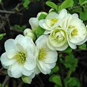 Buy Chaenomeles Yukigoten Shrubs Online Flowering Quince