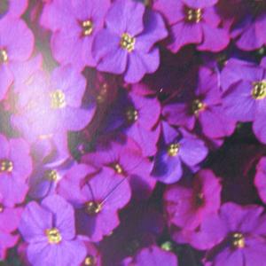 Aubrieta / Aubrieta Gracilis Kitte Purple 1Ltr
