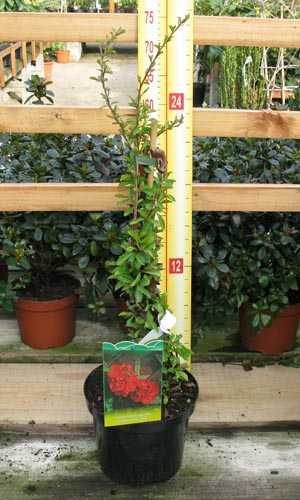 Chaenomeles Superba Crimson and Gold (Flowering Quince) 3.5Ltr