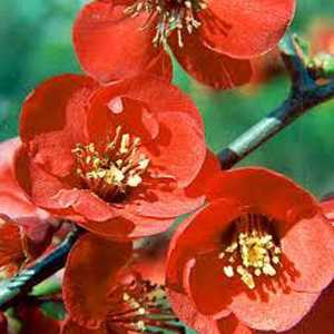 Cheap Chaenomeles Superba Crimson And Gold Cheap
