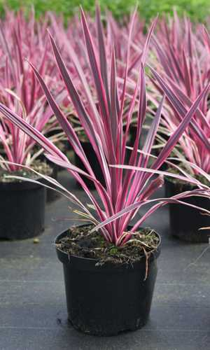 Cordyline Australis Pink Passion (Cabbage Tree) 3.5Ltr