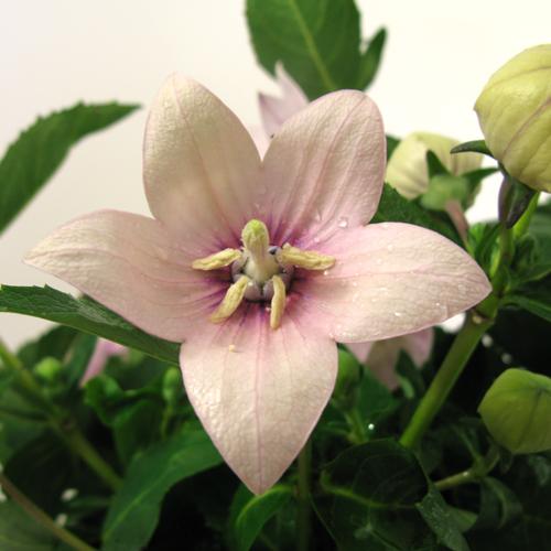 Platycodon 'Astra Pink'