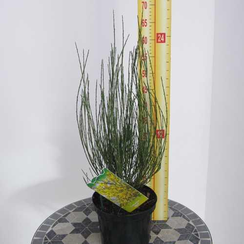 Cytisus Praecox Allgold (Broom)