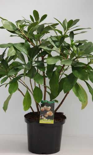 Edgeworthia Chrysantha Oriental Paperbush