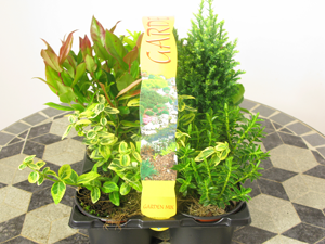 Garden Mix Consisting of Hebe, Shrub and Conifers 6 Per Tray