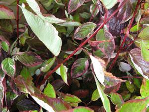 Cornus Alba Gouchaultii (Red Stemmed Variegated Dogwood)