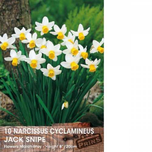 Narcissus Cyclamineus Bulbs Jetfire 25 Per Pack