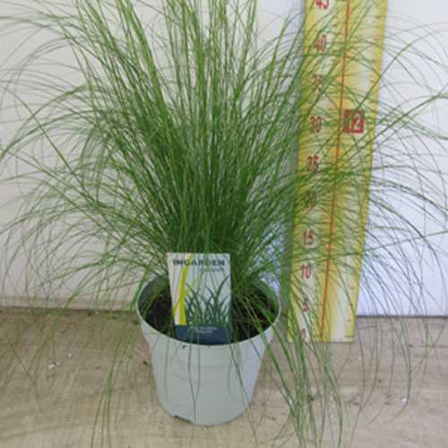 Stipa Tenuissima Mexican Feather Grass Syn. Stipa Tenuifolia 2-3Ltr