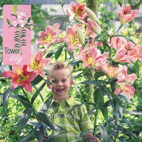 Lilium OT Hybrid (Lily) Tower Lilies On Stage Bulbs 3 Per Pack
