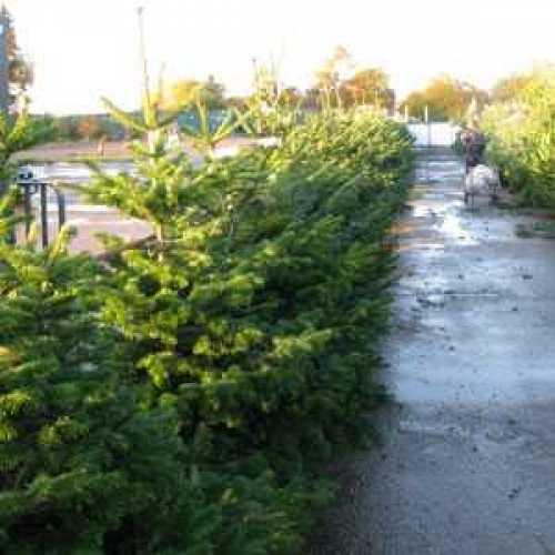 Nordman Non Drop Christmas Xmas Tree 5-6ft 150-175cm