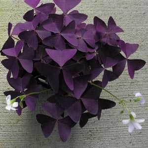 Oxalis Triangularis (Purple Shamrock) Bulbs 1000 Bulbs Supplied Loose