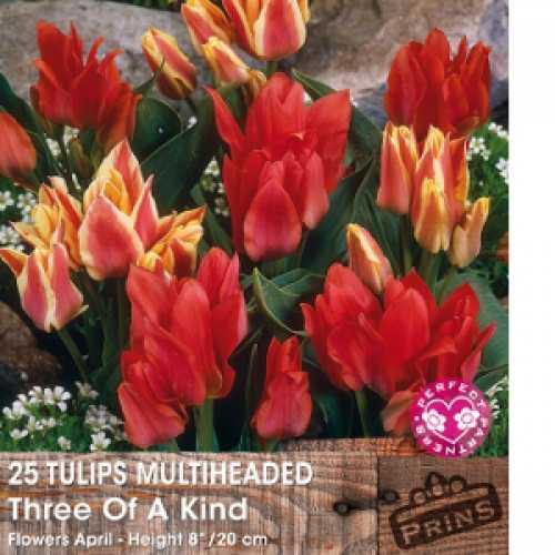 Tulip Bulbs Multiheaded Three of A Kind 25 Per Pack