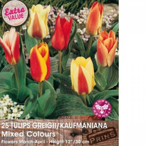 Tulip Bulbs Greigii/Kaufmaniana Mixed Colours 25 Per Pack