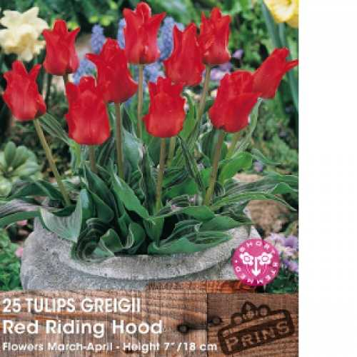 Tulip Bulbs Greigii Red Riding Hood 25 Per Pack