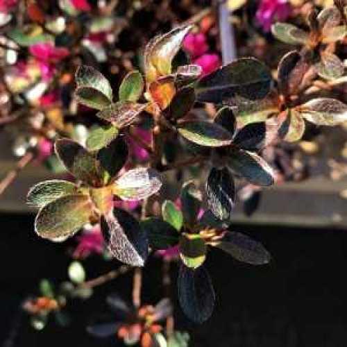 Azalea Japonica 'Amoena'