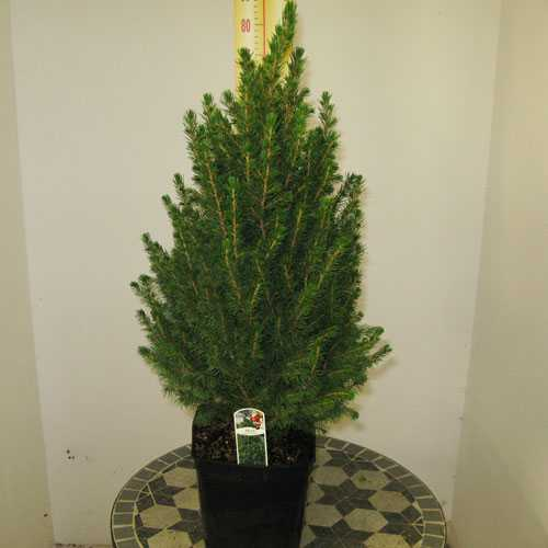 picea glauca conica 70 80cm mini christmas tree dwarf alberta spruce 18cm pot - Small Live Christmas Trees In Pots